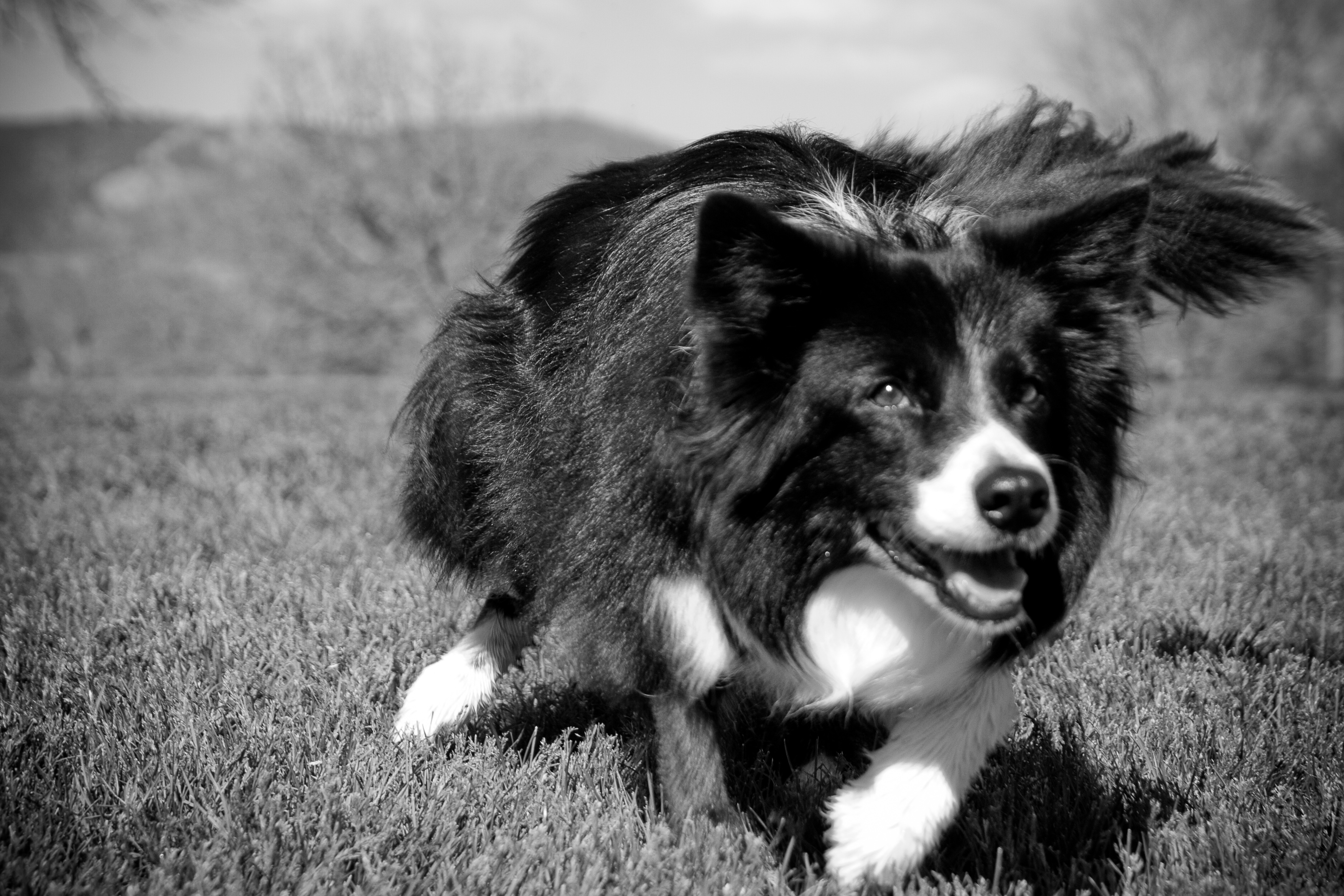 Hero Dog, Border Collie Sage, is featured on the 2013 calendar of the American Humane Association