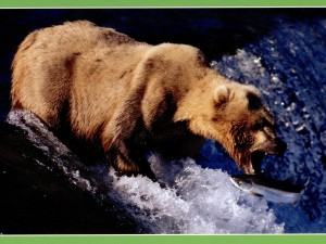 A brown bear lunges for a salmon in rough river waters.