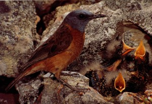 A mama bird struggles to feed her babies.